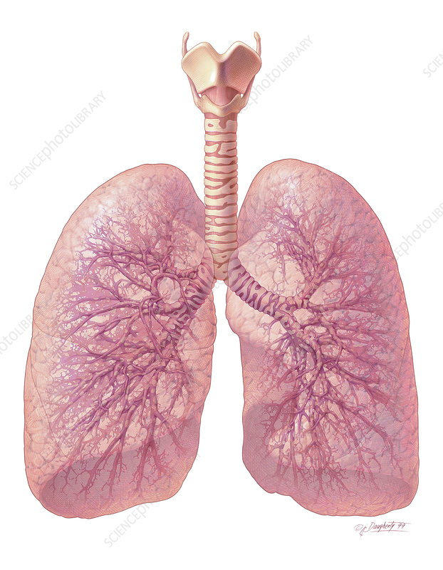 Human lungs - Stock Image P590/0201 - Science Photo Library