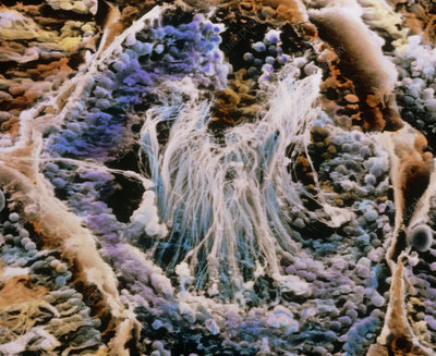 Coloured SEM of a seminiferous tubule
