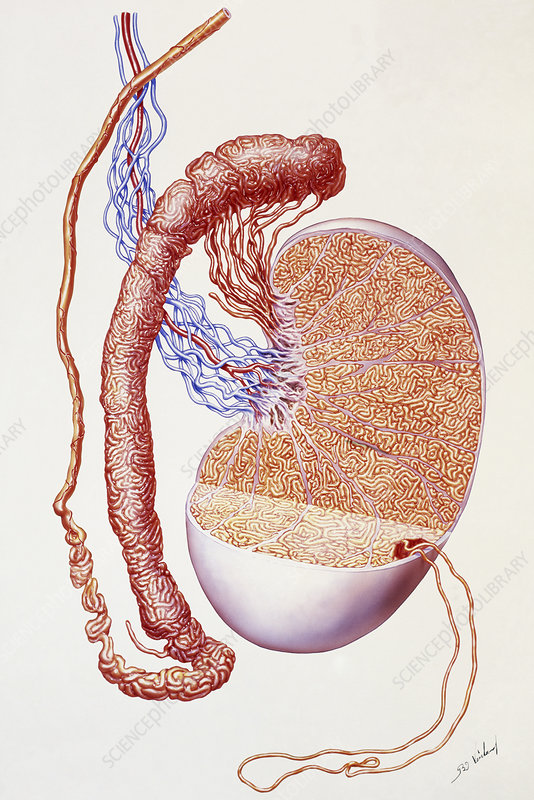 Illustration of the structure of a human testis