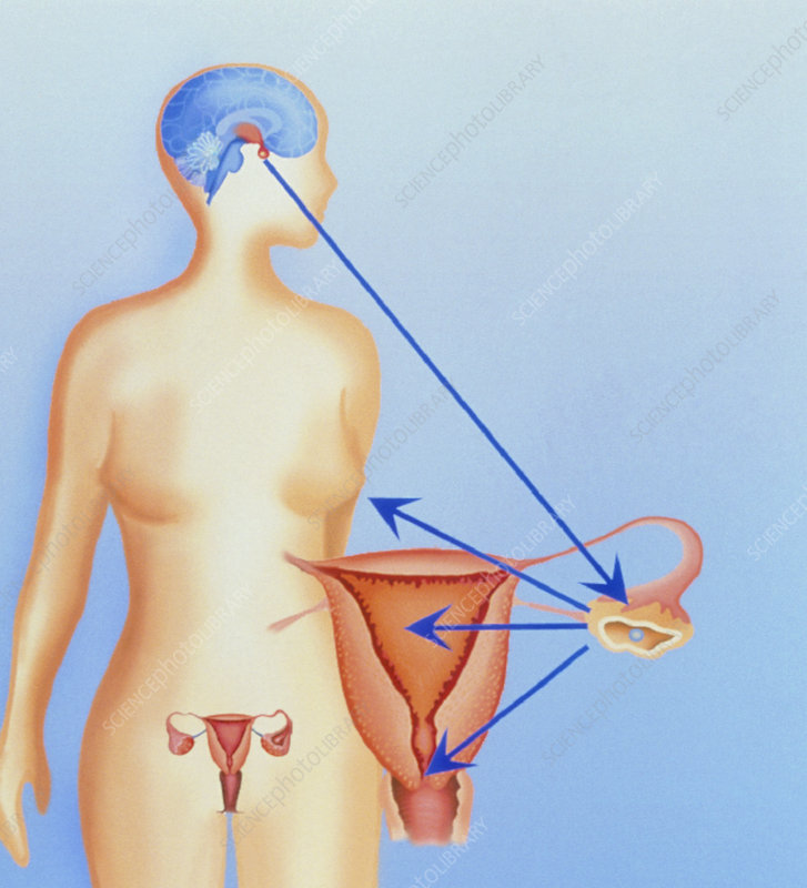 Artwork of female pituitary hormone effects