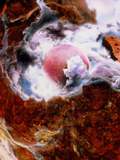 False-colour SEM of an egg at ovulation