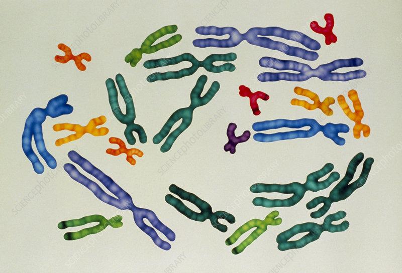 karyotype male. human male karyotype