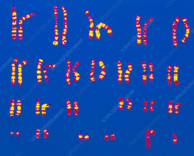Coloured LM of a set of normal male chromosomes