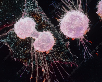 False-colour SEM of a mitotic cell division