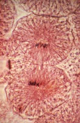 LM of whitefish cells in telophase of mitosis
