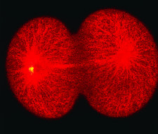 Confocal LM of sea urchin egg: telophase division