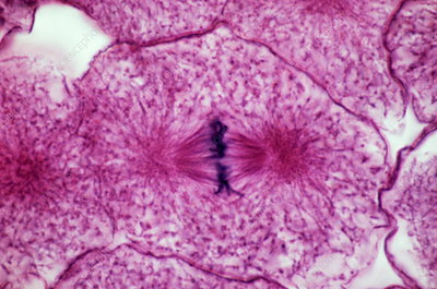 Late metaphase of mitosis, LM