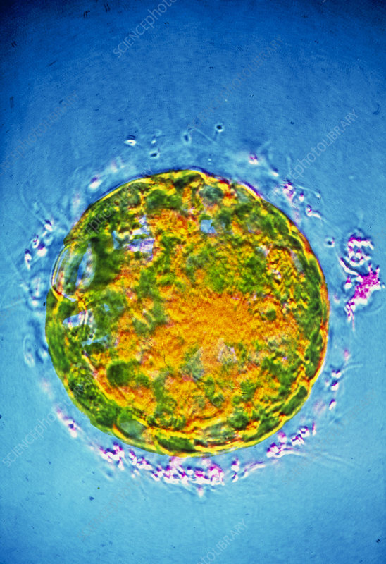 False-colour TEM of 6-day-old fertilised ovum