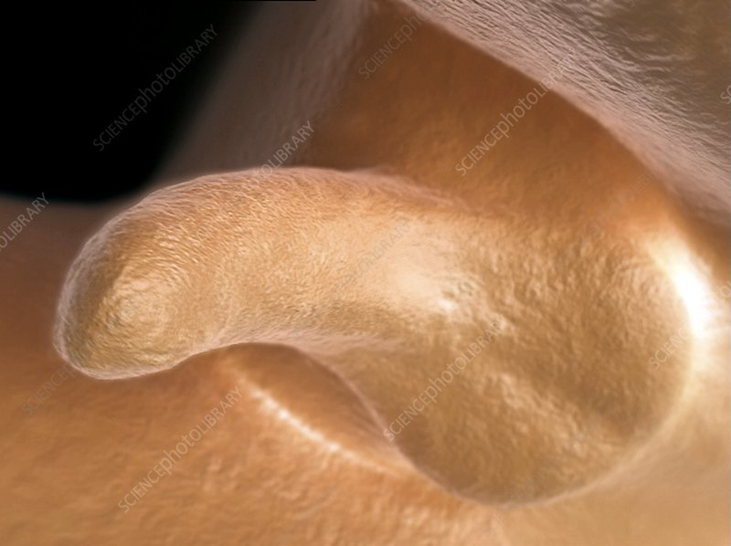 Male Genitalia Development