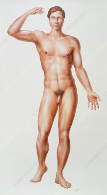 Artwork of a full-length male anatomical figure