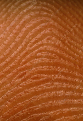 Macrophot of index finger showing skin ridges