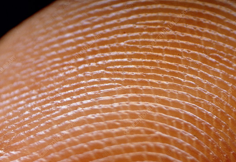 Fingerprint skin ridges
