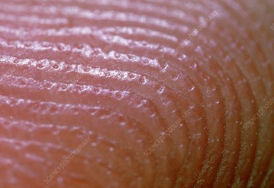 Macrophoto of finger showing skin ridges