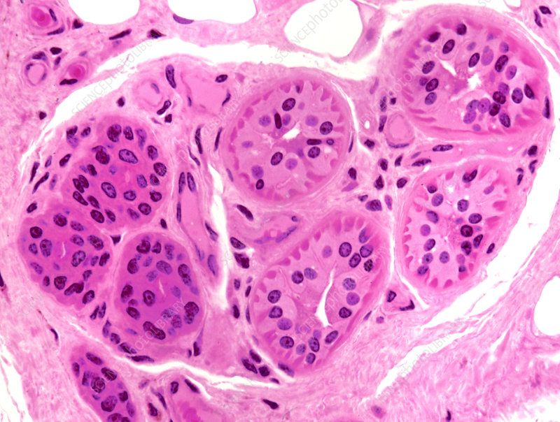 Primate Sweat Gland