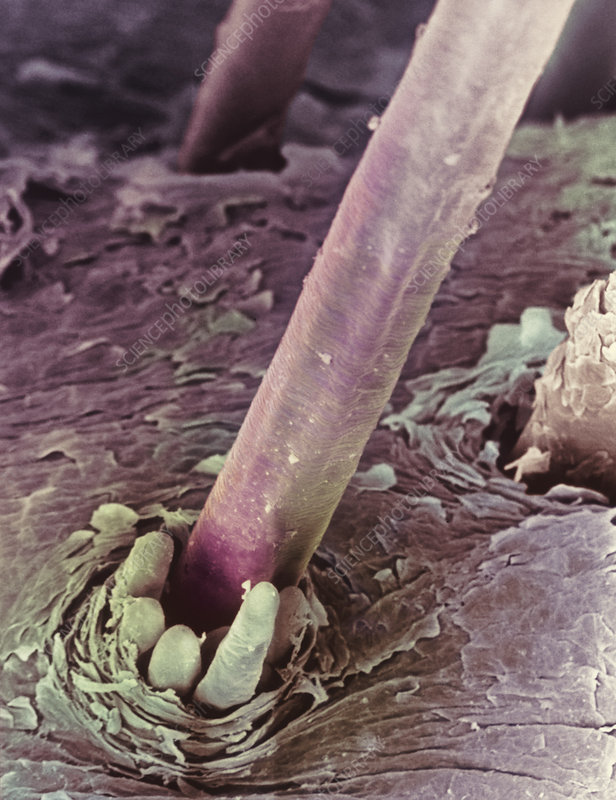 SEM of eyelash hair