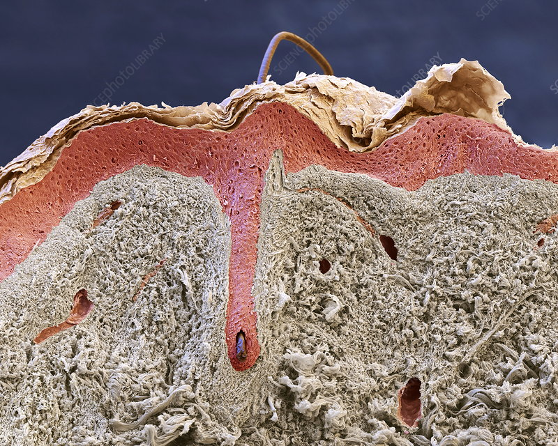 Human skin and hair, SEM