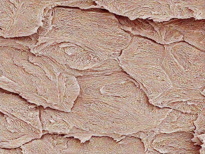 Nail keratin layers, SEM