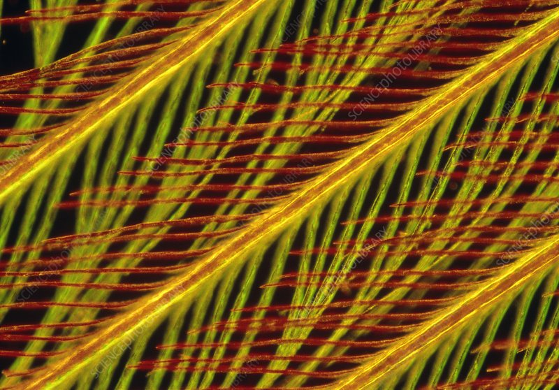 Light micrograph of a kingfisher's feather