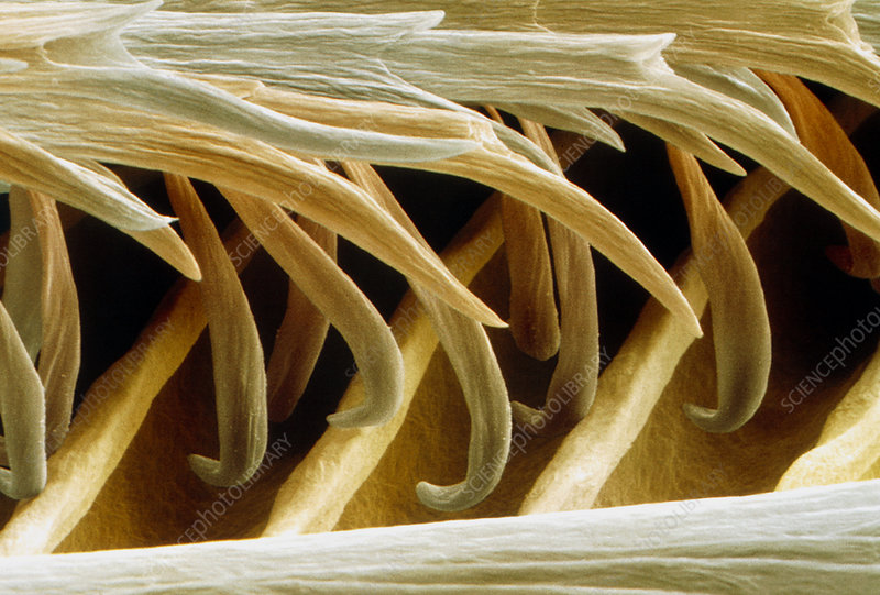 Coloured SEM of barbules on a swallow feather