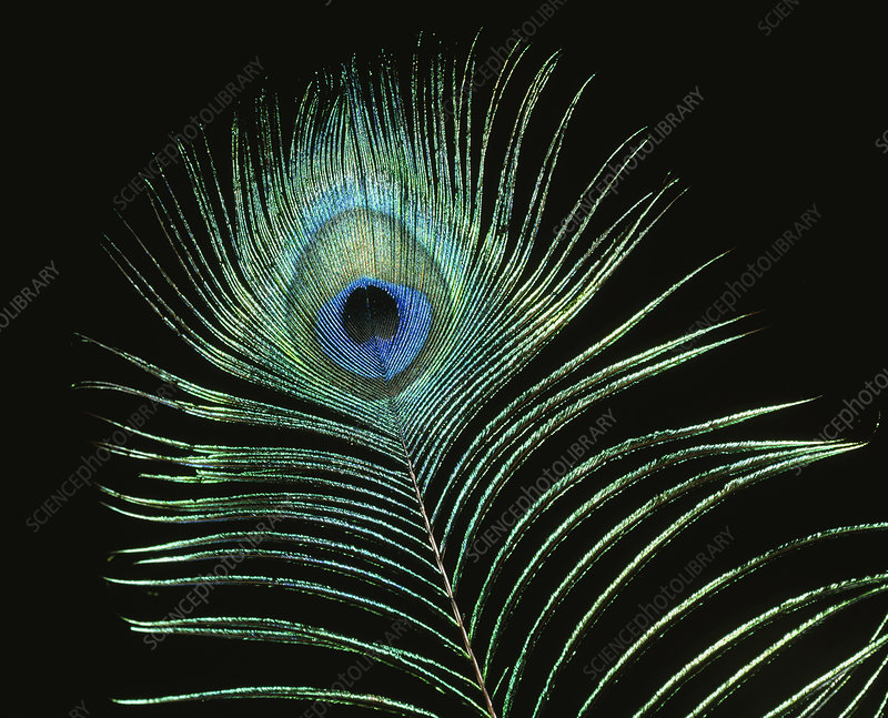 Eye on peacock's (Pavo cristatus) display feather