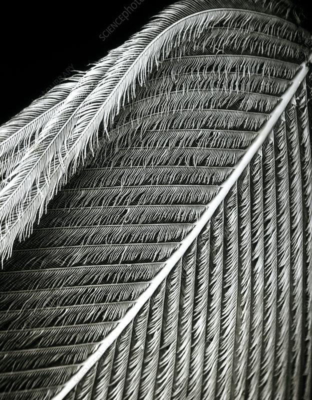 goose feather sem stock image p740 0081 science photo. Black Bedroom Furniture Sets. Home Design Ideas
