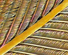 Pigeon feather, SEM