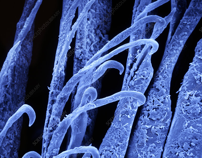 Feather barbules, SEM