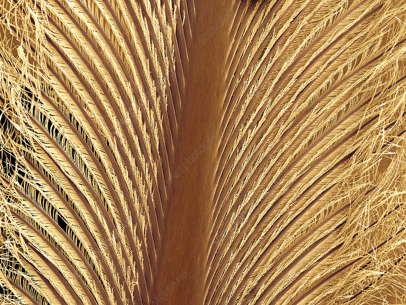 Penguin feather, SEM