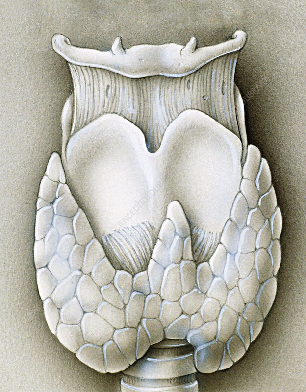 Artwork showing the thyroid gland