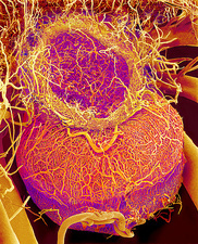 Pituitary gland blood vessels, SEM