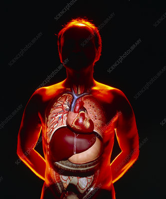Model of viscera superimposed over human body
