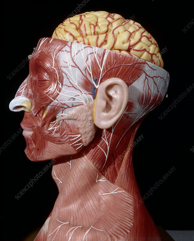 Head of a model showing brain and facial muscles