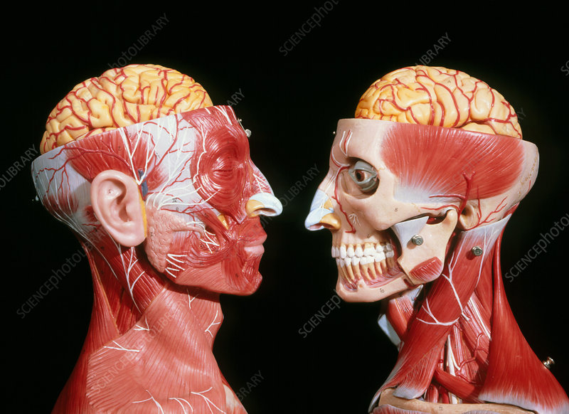 Models showing the cerebrum, facial & neck muscles
