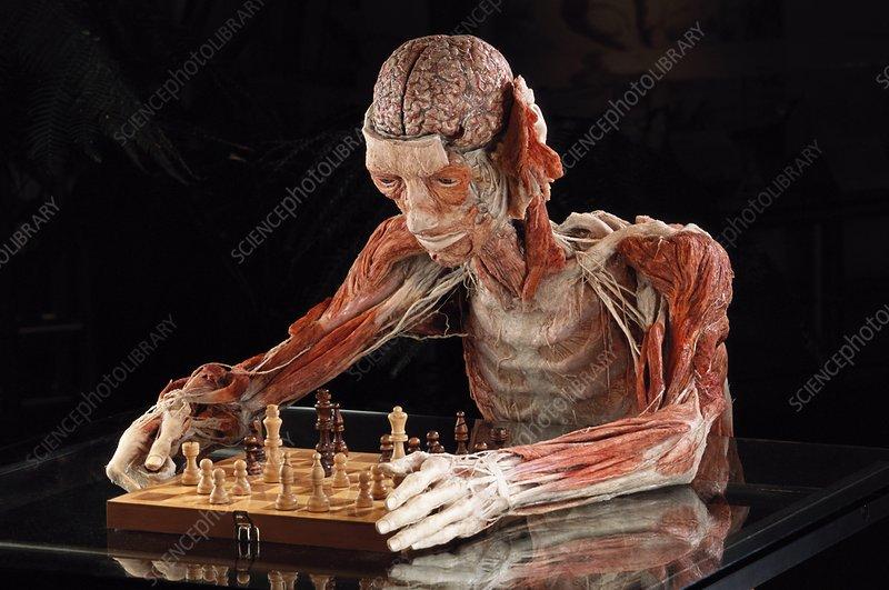 Human anatomy, Bodyworlds exhibit - Stock Image P880/0160 - Science ...