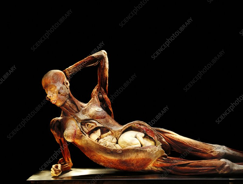 Pregnancy Anatomy Bodyworlds Exhibit Stock Image P8800162