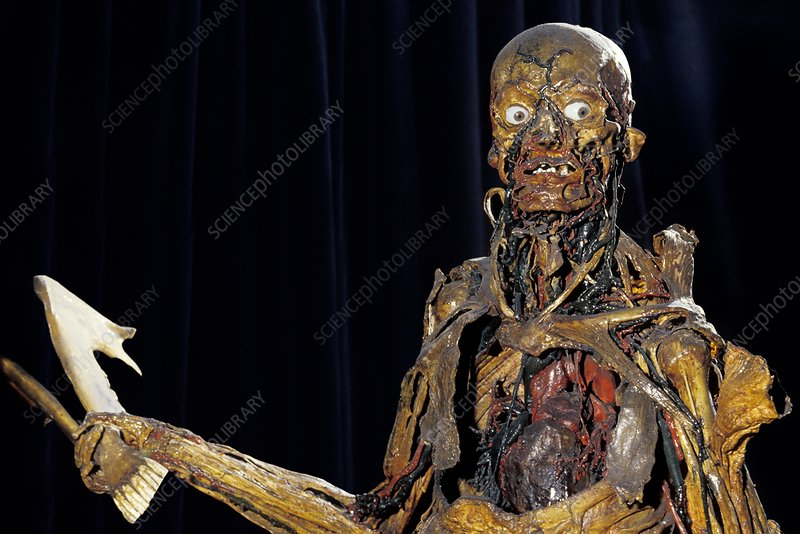 Human Anatomy Fragonard Museum Stock Image P8800168 Science