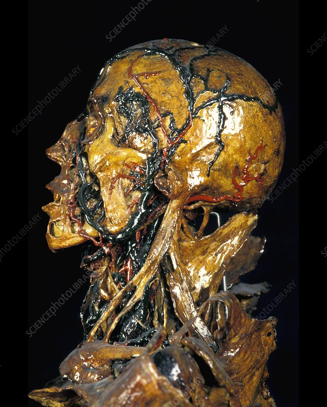Human Anatomy Fragonard Museum Stock Image P8800171 Science