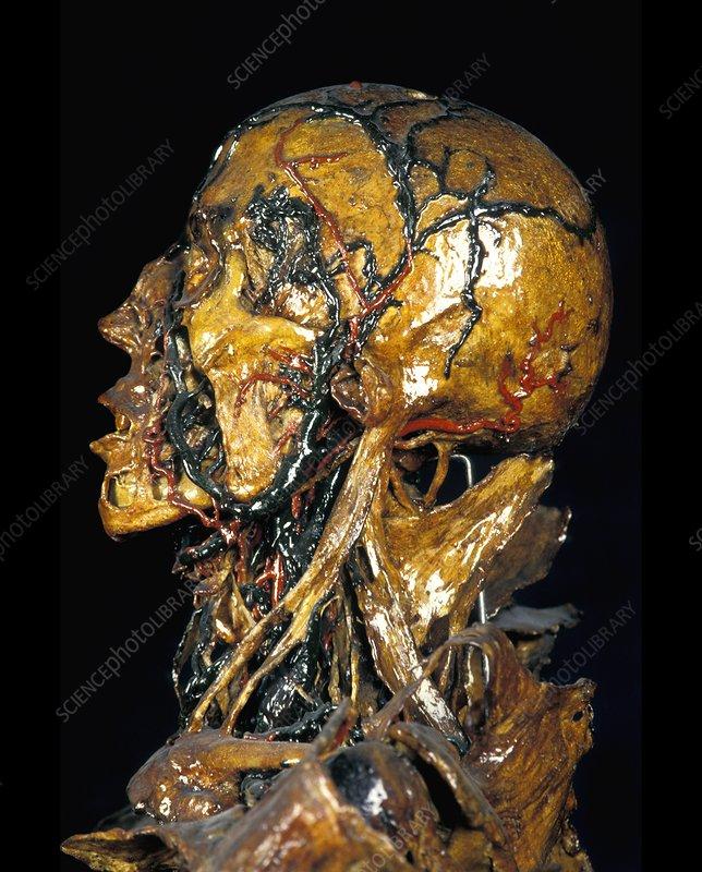Human Anatomy Fragonard Museum Stock Image P8800171 Science