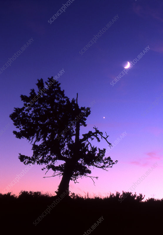 Juniper Tree, Moon and Venus