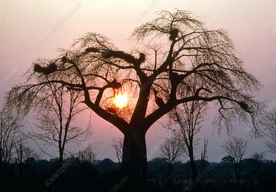 Sunrise behind a baobab tree, Adansonia digitata