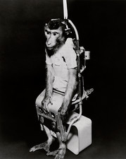 Pigtail monkey used in Biosatellite flight