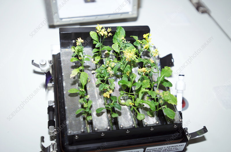 Brassica plants in space