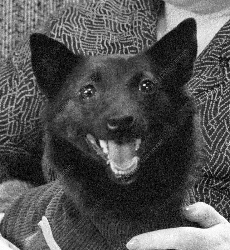 http://www.sciencephoto.com/images/download_wm_image.html/S620047-Chernushka,_Soviet_space_dog-SPL.jpg?id=836200047