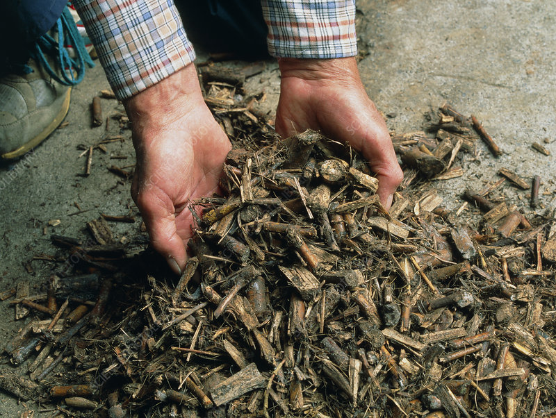 Coppiced poplar wood chips in farmer's hands