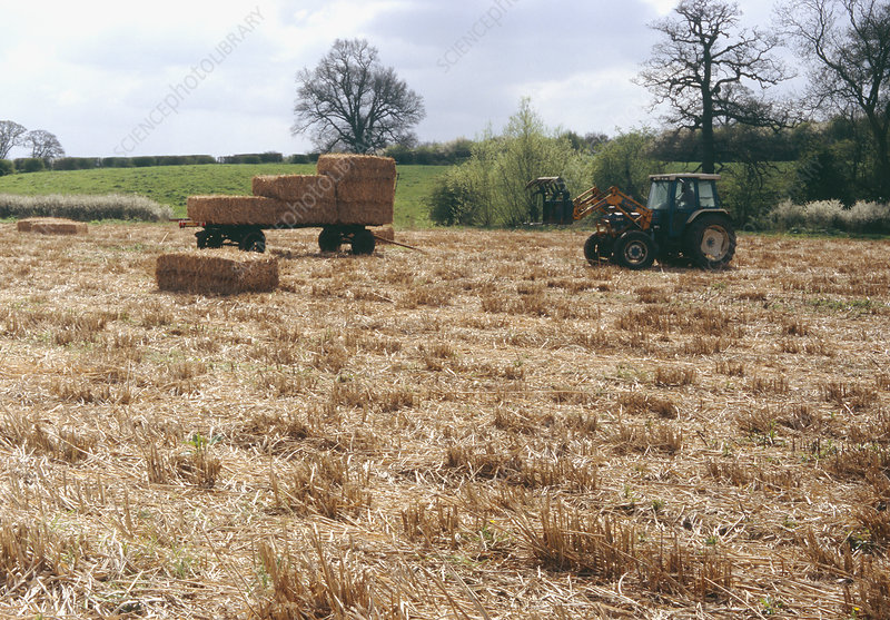 Harvesting Miscanthus grass for biofuel