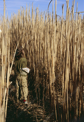Child in a Miscanthus grass biofuel field