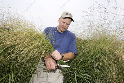 Biofuel research, switchgrass plants
