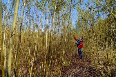 Willow grown for bioenergy