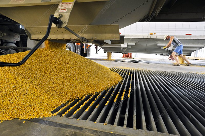 Corn at an ethanol processing plant