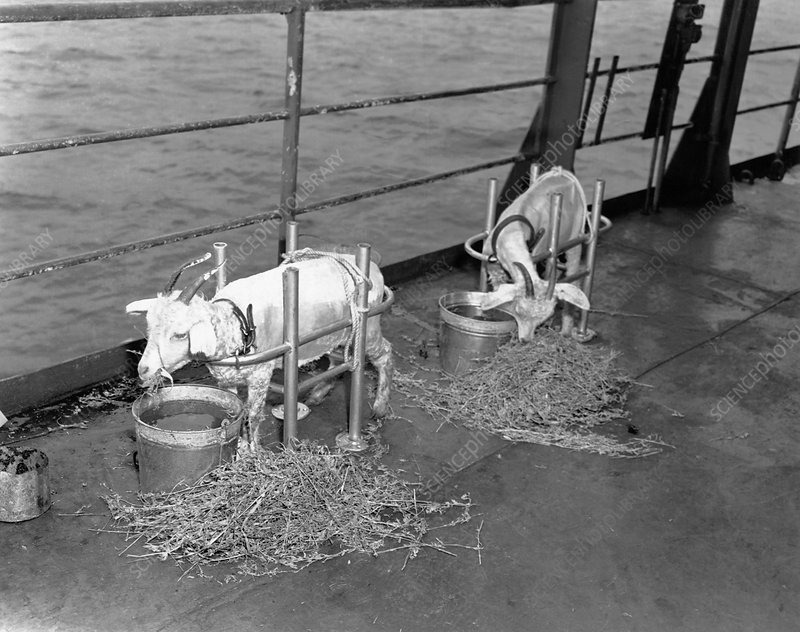 Goats on deck of ship before atom bomb detonation